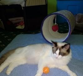 Pedigree Ragdoll Kittens All Sold