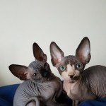 Beautiful Tica Reg  Kittens For Sale