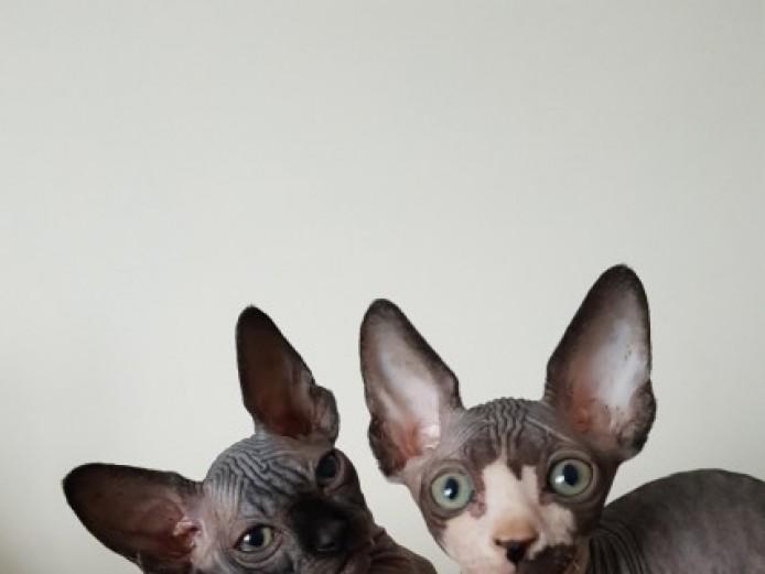 Beautiful Tica Reg  Kittens For Sale