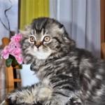 Lovely Scottish Fold  Kittens