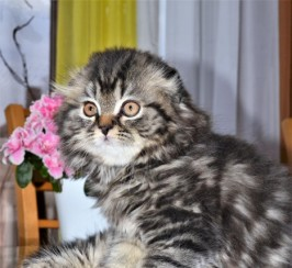 Lovely Scottish Fold  Kittens