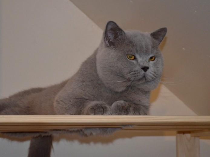 Beautiful Blue  Bs Kittens