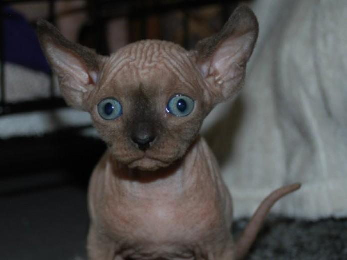 Beautiful Elf Kittens!!!!