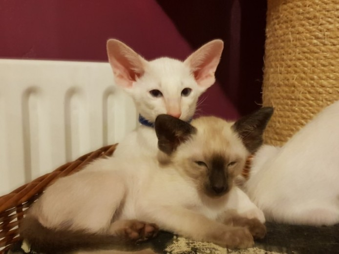 Lovely Pedigree Siamese Kittens For Sale