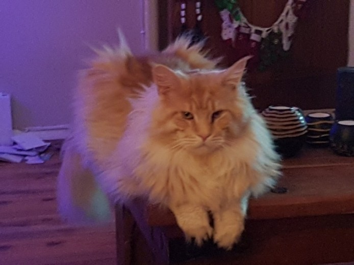 Pedigree Maine Coon