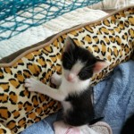 2 Nr Bengal X Kittens Needing Loving Forever Homes