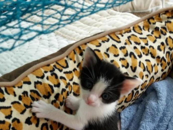 2 Nr Bengal X Kittens Needing Loving Forever Homes