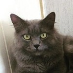 Blue Fluffy Persian Kitten For Sale Last One