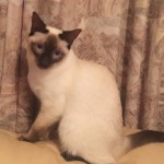 Traditional Siamese Chocolate Point Female