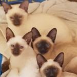 Male Chocolate & Seal Kittens For Sale