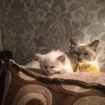 Gorgeous Fluffy Ragdoll Kittens