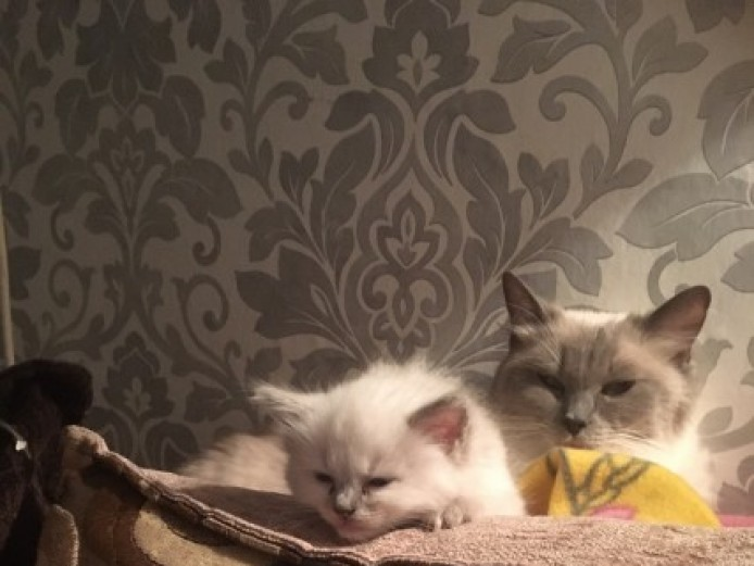 Gorgeous Fluffy Ragdoll Kittens