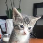 Gorgeous Blue Female Kitten