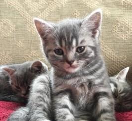 Pedigree Blue Spot Little Boy Kitten