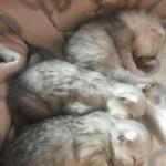 Chinchilla Persian Kittens Available