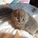 Scottish Fold Kittens