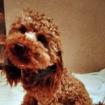 F1 Rare Whoodles Soft Coated Wheaton toy Poodle