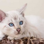 Amazing Blue Eyes Seal Lynx Quality Bengal Boy