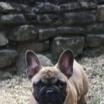 Kc Reg French Bulldog Puppy..s