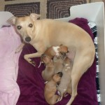 Last Two Kc Reg Whippet Boys For Sale