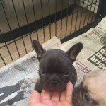 6 Kc French Bulldog Puppies For Sale