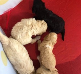 Cockapoo Puppies Ready Now