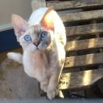 Beautiful Devon Rex Cat