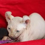 Elf Kitten Available For Sale