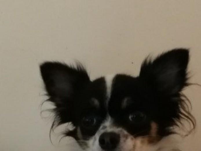 Merle Black White Chihuahua