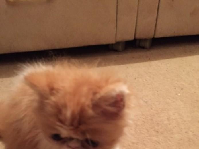 Stunning Persian Kitten