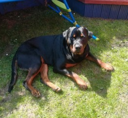 Pets  - 20 Month Male Rottweiler For Sale