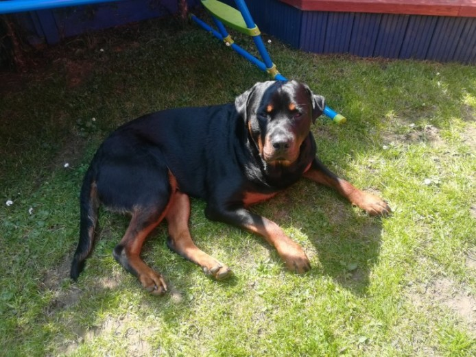 20 Month Male Rottweiler For Sale