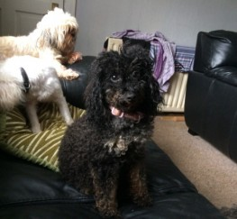 Pets  - Very Rare Phantom Black And Gold Maltipoo Puppies