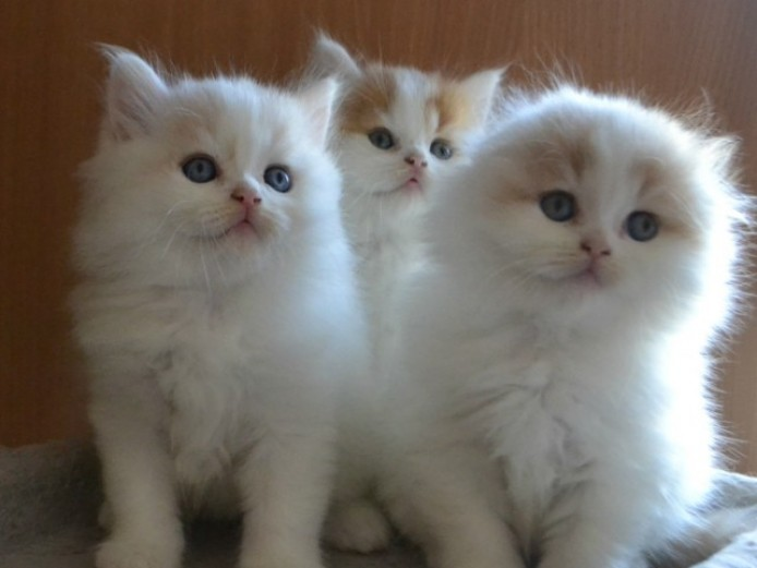 Beautiful Show Quality Kittens