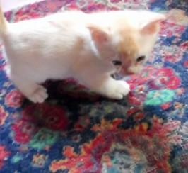 Vet Inspected 2 Round Baby Burmese Kittens