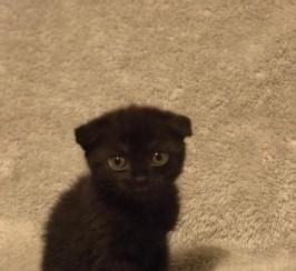 Gorgeous Scottish Fold Kitten Available