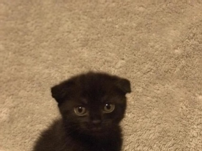 Gorgeous Scottish Fold Kitten Available
