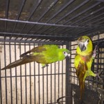 Hahns Macaw Pair