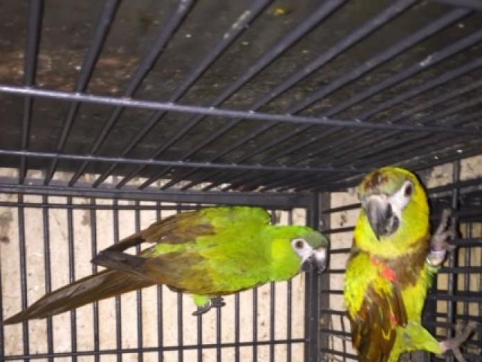 Hahns Macaw Pair