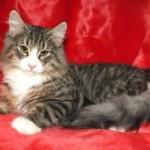 Ready Now Full Pedigree Male Kitten For Sale