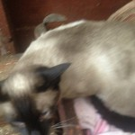 Sealpoint Female Siamese