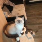 Beautiful Ragdoll Kittens Only 2 Left