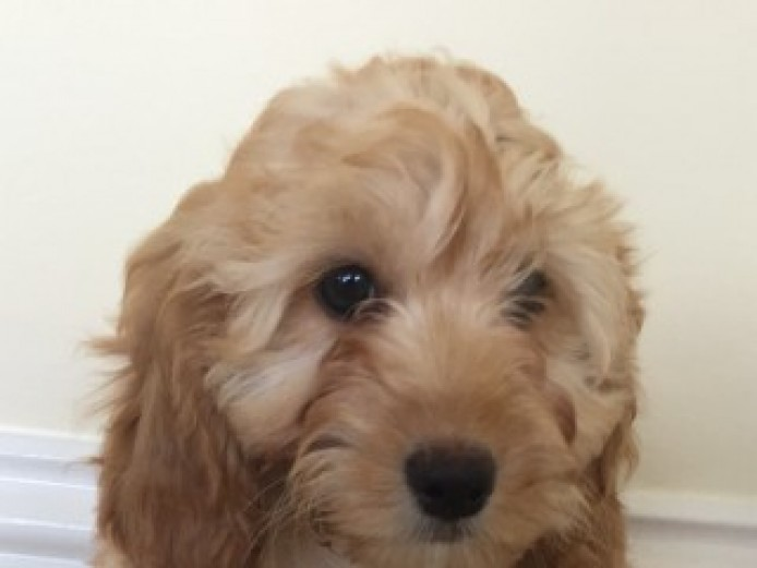 Miniature F1 Cockapoo Puppies