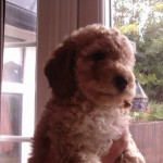 F3 Cockapoo Pups Price Reduced