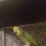 Green Amazon Parrot