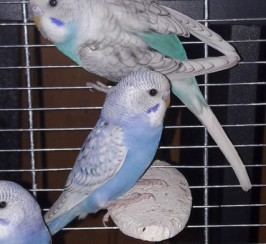 Baby Budgies For Sale .