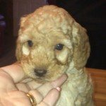 Gorgeous Cockapoo Pups Pra fn Health Tested Clear