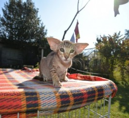 Lovely Oriental Kittens For Sale