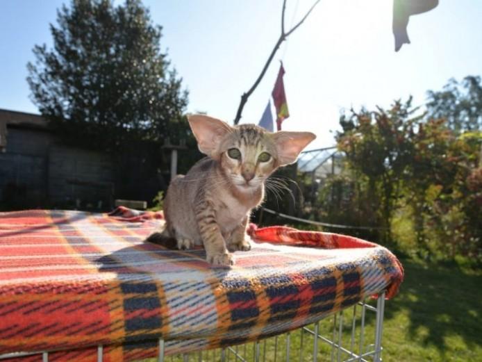 Lovely Oriental Kittens For Sale