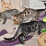 Three Terrific Tica Reg Kittens Male And Female.